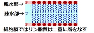 300px-リン脂質二重層膜の基本構造(byパタ)
