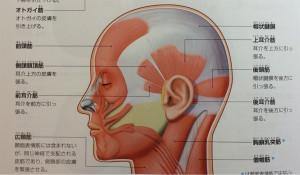 頭部の筋肉図