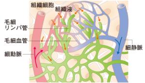 リンパ管の分布と構造