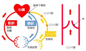 リンパと体液循環