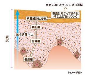 表皮の代謝サイクル