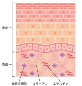 皮膚の構造_断面図